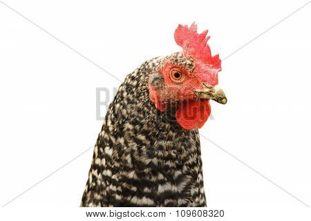 Isolated Mottled Hen Portrait