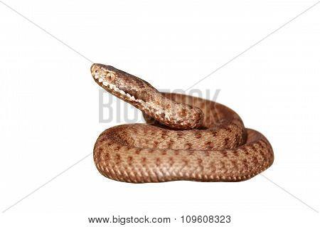 Isolated Venomous Snake Full Length