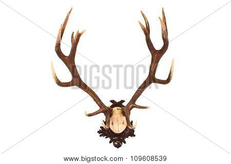 Red Deer Buck Isolated Trophy