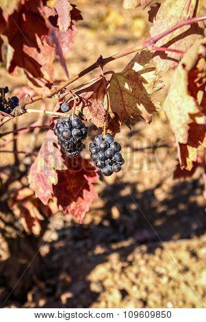 Grapes At Estepas De Belchite, Zaragoza, Aragon, Spain