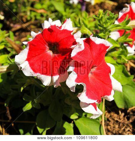 Red White Petunias Flowers
