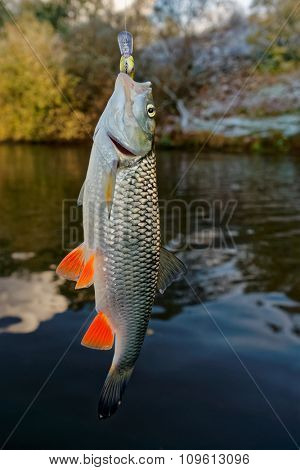 Chub with plastic bait in mouth against river landscape, late fall