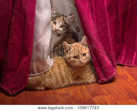Two Kittens Hiding Behind The Curtain. Pets