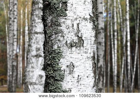 trunk of birch close on background of forest