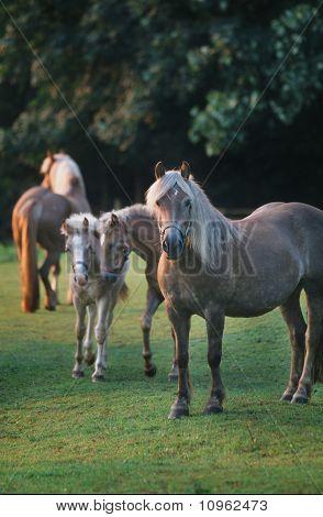 Haflinger And Foals