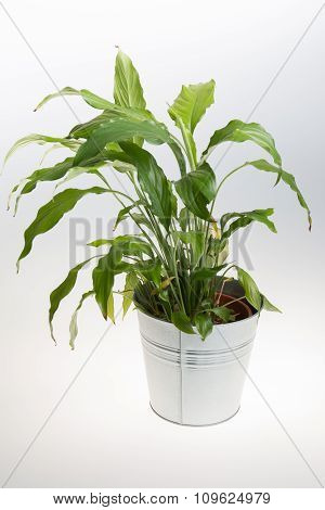 Potted Plant - Bird's Nest Fern- In A Grey Pot