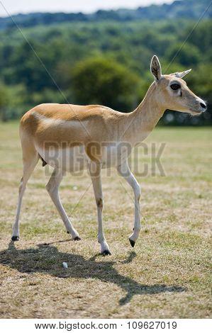 Impala body