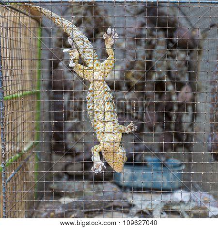Geko In Cage In Market In Indoensia.