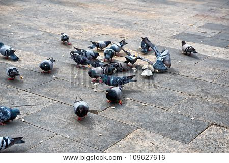 Group of domestic gray pigeons eating leftover bread on the stone pavement of a pedestrian urban square