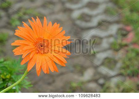 Orange Chrysanthemum On Background Blur.focus Flower.