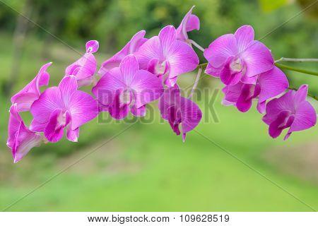 Purple Orchids,grass Background.