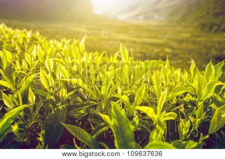 Tea plantation with tea leaves in sunshine. Nature background