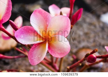 Beautiful Sweet Pink Flower Plumeria Bunch With Relaxing And Meditation Or Aroma Spa Mood