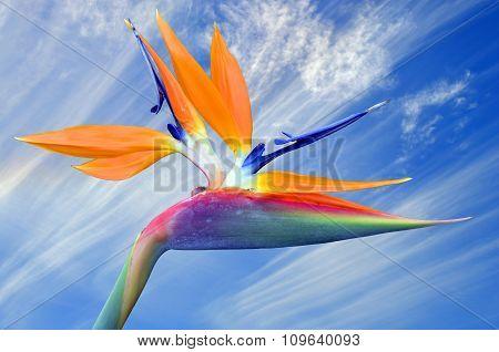 Bird of paradise Latin name Strelitzia reginae