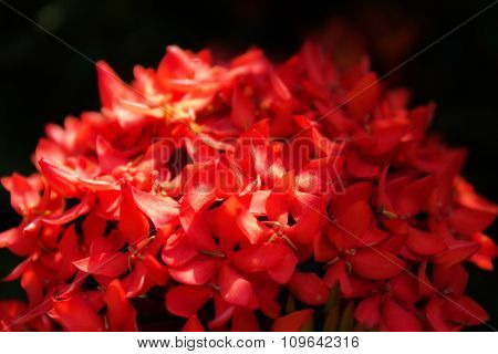 Native Tropical Red Flower Rubiaceae Bunch In Classic Style On Black Background