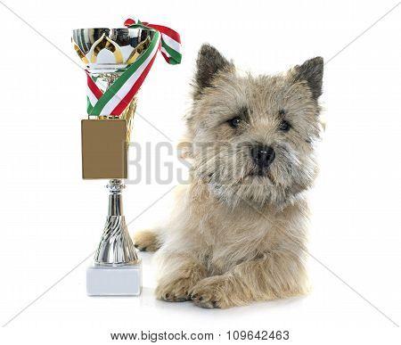 Winer Cairn Terrier