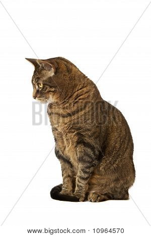 Adult Tiger Striped Cat on a White Background