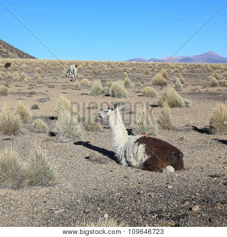 Llama Resting. Sajama National Park, Bolivia