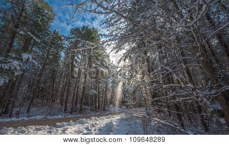 Snow falls from covered pines - beautiful forests along rural roads.