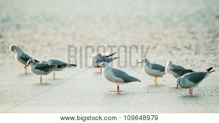 Sea gulls at water