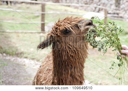 Alpaca At A Farm.