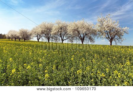 Field Of Rapeseed And Alley Of Cherry Tree