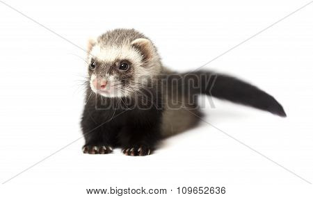 Cute ferret isolated