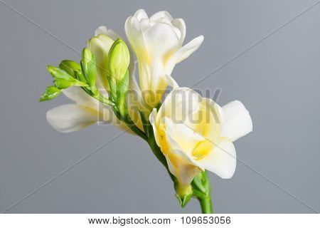 The Branch Of White Freesia With Flowers And Buds On A Gray Background