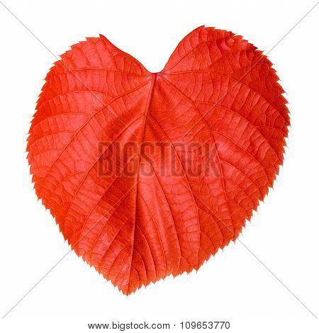 Red Linden-tree Leaf