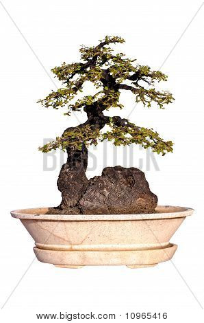 Evergreen Bonsai on Isolated background