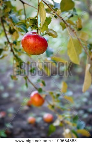 Red Apples On Apple Tree Branch.