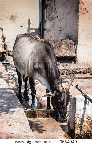 Black Cow Drinks Water, Hampi, India.
