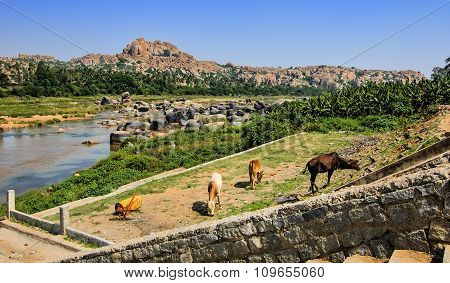 Cows Eat Grass On The Hampi's River Bank, India