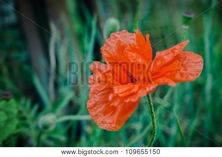Red Poppy Flower In Countryside Garden With A Blurred Background.