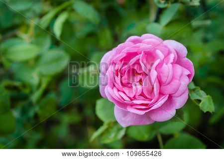 Pink Rose Flower In Countryside Garden With A Blurred Background.