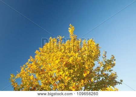 Tree in autumn full of yellow leaves