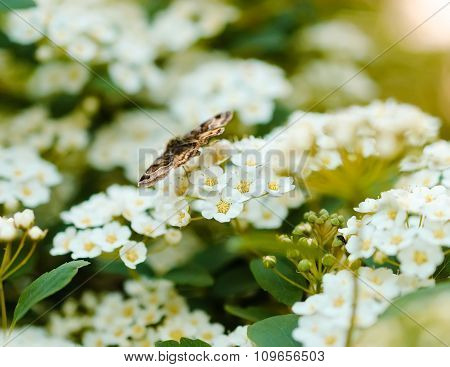 Brown Butterfly Sitting On A White Flower