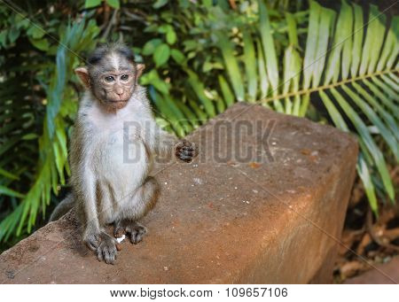 Gray Young Monkey Sits On A Stone
