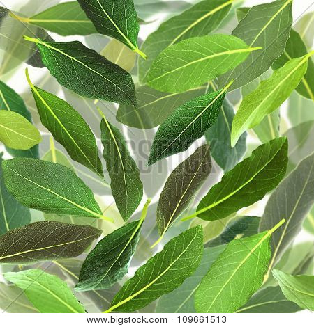 Fresh green bay leaves, close up