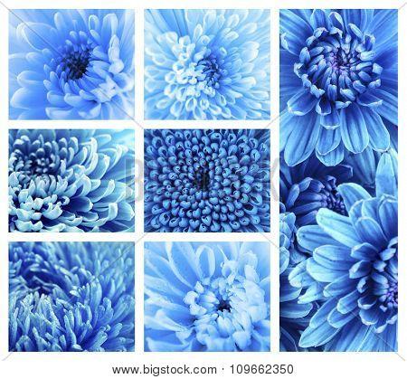 Beautiful blue chrysanthemum  flowers, close-up