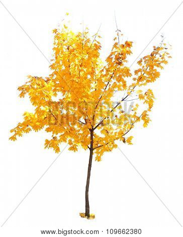 Autumnal tree isolated on white