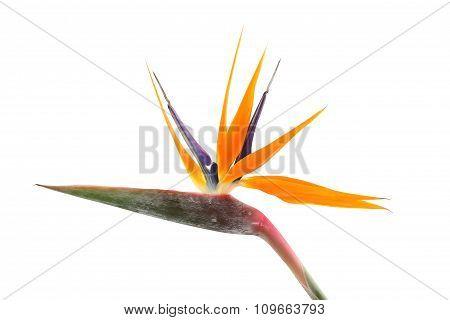 Strelitzia reginae (Bird of Paradise) on white background