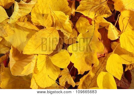 Background of yellow autumn leaves, close-up