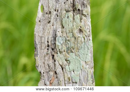 Old Wood Textured Bleached By The Sun With Lichens Growing On Surface Asia