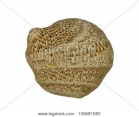 Round piece of fossilized sea sponge