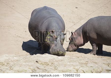 Large Hippo Bull Walking On The Bank Of River