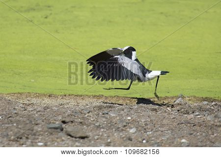 Acrobatic Blacksmith Plover Landing On The Shore Of Lake Covered With Green Algae