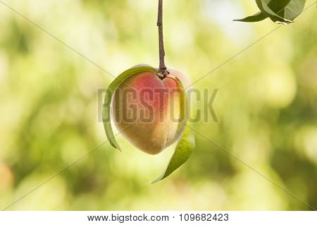 Peach On Branch With Leaves