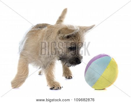 Puppy Cairn Terrier