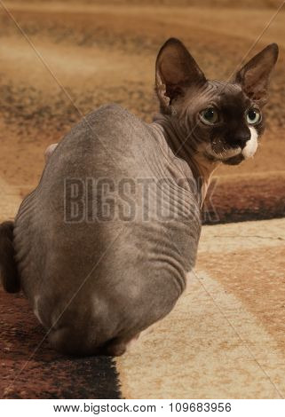 Portrait of a cat breed Sphynx